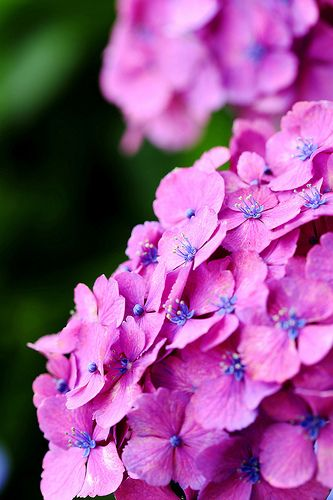 Hydrangea~my favorite flower