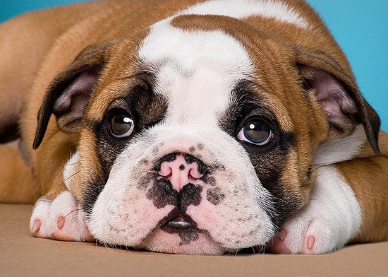 "Henceforth when anyone says ""puppy dog eyes"", this is the darling photo I will instantly think of. #bulldog #English #puppy #dog #cute #pink #animals #pets #adorable"