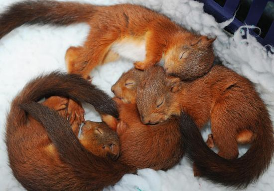 Four five-week-old red squirrel kittens cosy up in a blanket