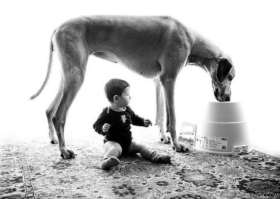 #girl is feeding #Great #Dane #dog
