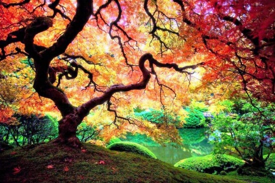 A Japanese Maple Tree In Portland, Oregon –