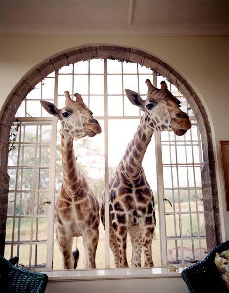 giraffes in your window- ah!