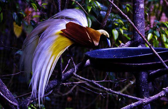 Purple Bird of Paradise