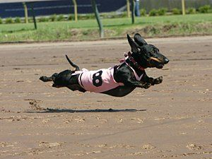 Little known fact... weiner dogs CAN fly!!