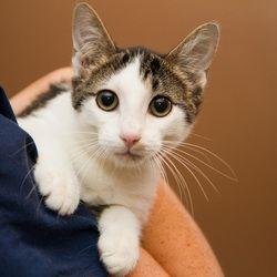 Petfinder Adoptable Cat