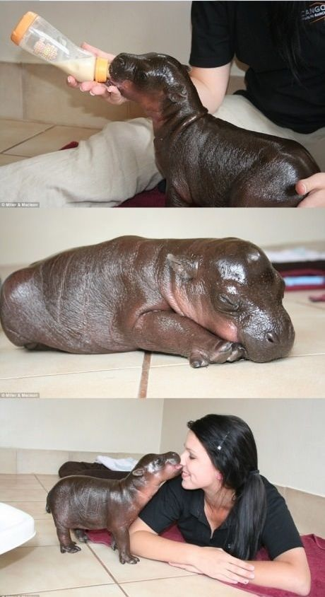 Cute Pet Hippo
