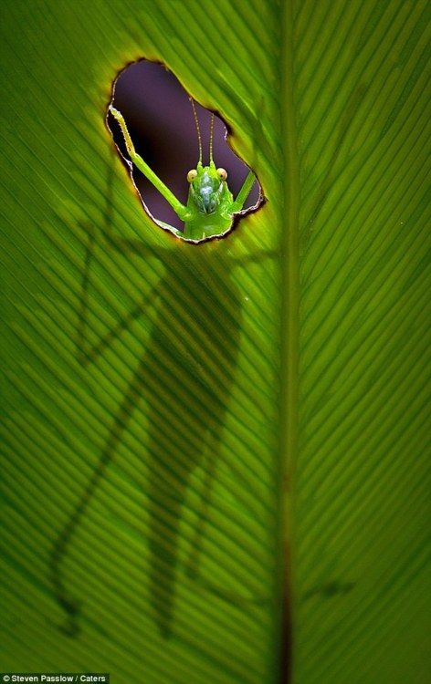 ? The hungry grasshopper almost looks surprised as he peers through a little hole in a fern leaf.?