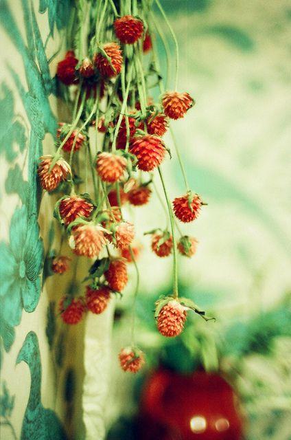 strawberry #rose ...
