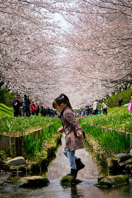 The little girl and the carpet of sakuras in Japan.