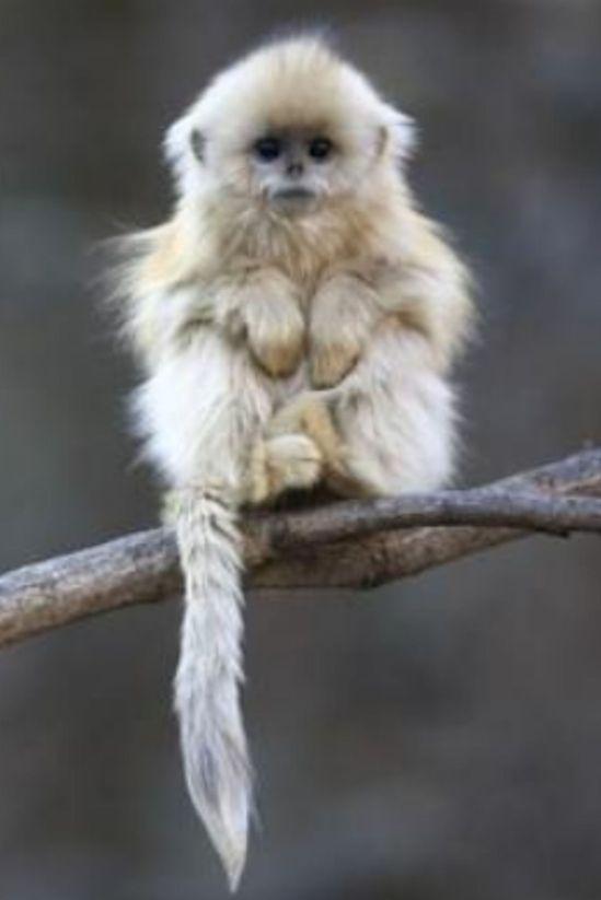 baby golden snub-nosed monkey #wild #animals