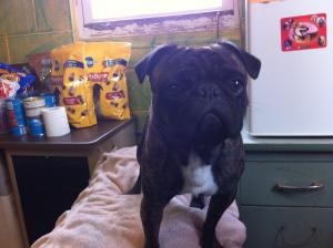 Jack is an adoptable Pug Dog in Saint Marys, WV. Jack cant be any cuter!!! This poor baby was adopted once but was returned because his new brother couldnt get along with him. He is so depressed a...