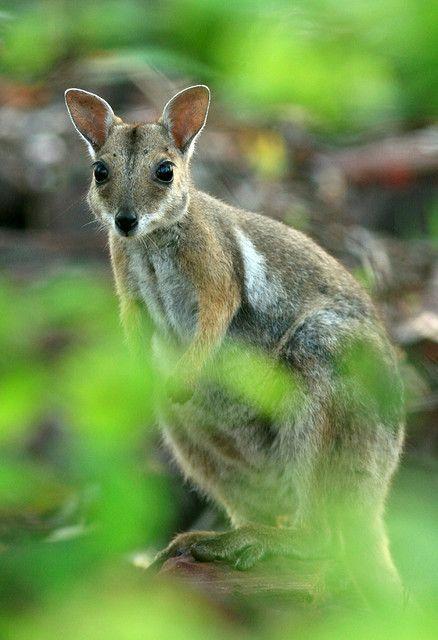 Shorteared Rock Wallaby