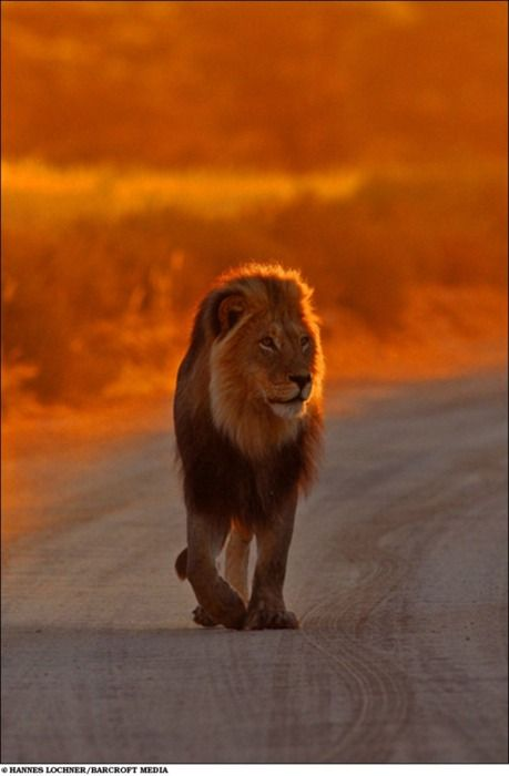 King of the wild.