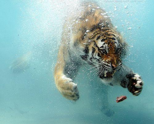 Diving tiger