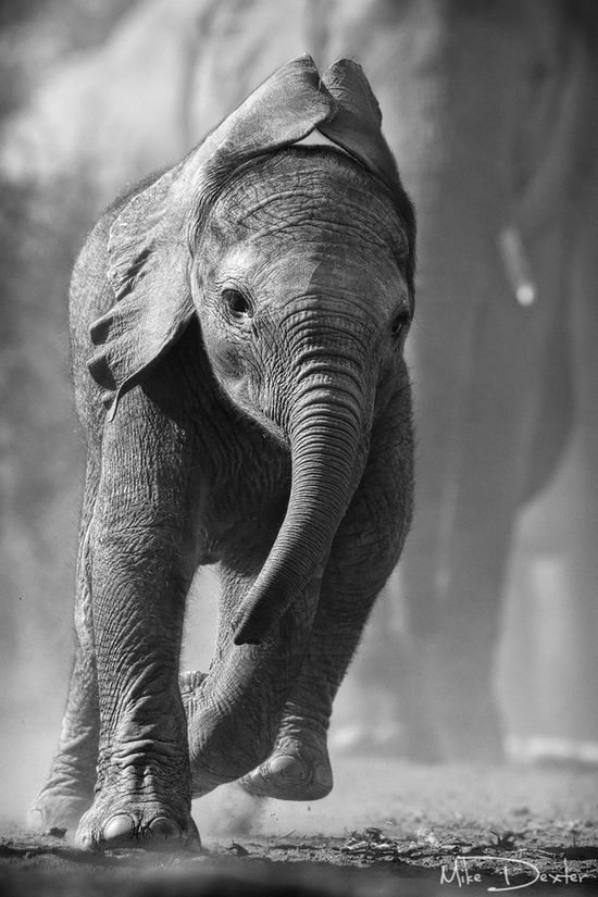 """""""Water bound"""", by Mike Dexter. """"A young elephant can't hold itself back and runs towards a small waterhole in an otherwise dry and unforgiving landscape"""". Northern Tuli Game Reserve, Botswana."""