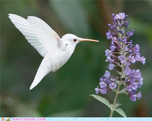 A Rare Albino Hummingbird