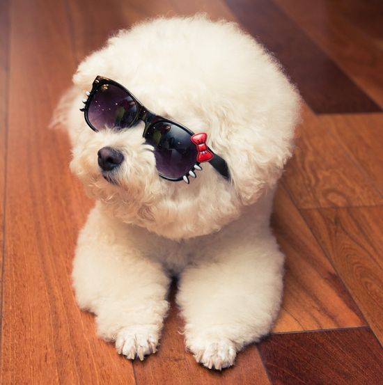 200 BICHON FRISE ideas   bichon, bichon frise, bichon frise dogs
