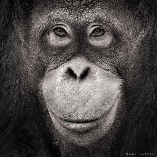 Smile.  Orangutan portrait.  by Wolf Ademeit.