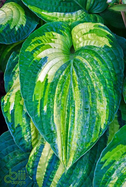 Hosta 'Dorothy Benedict'--one of the top streaked breeding hostas, and a gorgeous one at that!