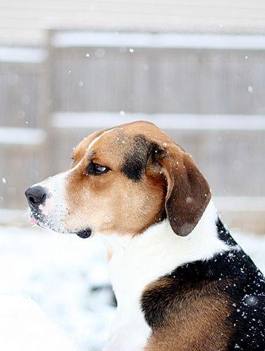 Snow Beagle #pet boy #pet girl