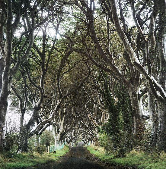 the elder trees