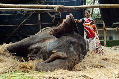 "The Perfect World's photo: ""Death of Indian Working Elephant ""Bijlee"" Starts Global Movement"" India bans animals at circuses! Now let's hope they make the conditions for these working animals better too! newswatch.nationa..."
