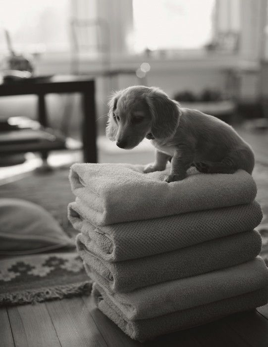 Weiner dog towel boy!
