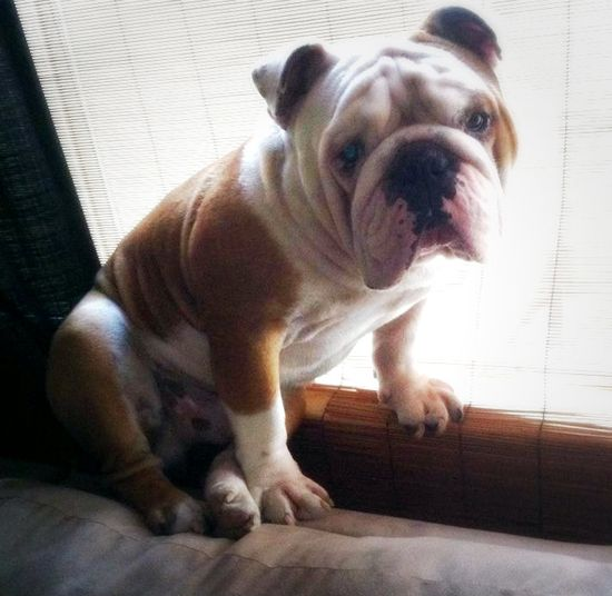 I'm just chillin! My baby boy Buster! #busterthebulldog