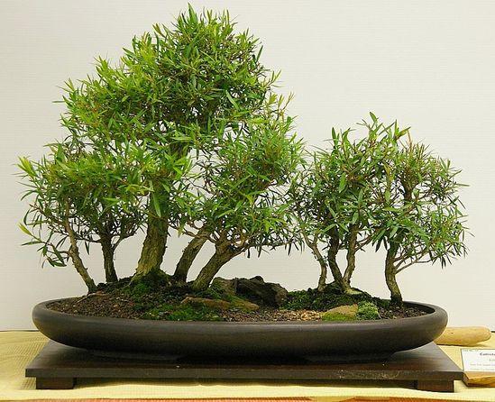 bonsai: Native Australian bottlebrush group planting, began training in 2005