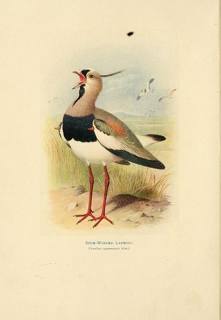 Birds of La Plata,.  London [etc.] :E.P. Dutton Co.,1920