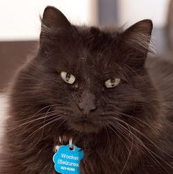 WOCKET is an adoptable Domestic Medium Hair-Black Cat in Grand Rapids, MI.  When our volunteer Mary Tinney, who is also a Vet. Tech at Rogue Valley Vet. Hospital, emailed me on March 12th, 2011, it wa...