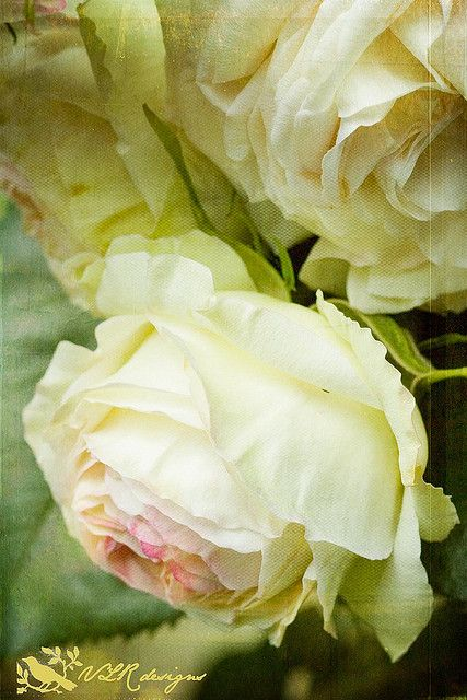 Fragrant English roses