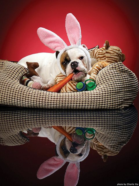 Forget the bunny, next year I soooo want the Easter bullie to visit my house! :D #Easter #bunny #dogs #pets #bulldogs #animals #puppies #cute