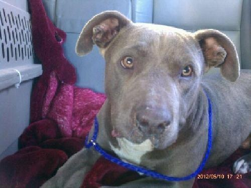 Harvard is an adoptable Pit Bull Terrier Dog in Polson, MT Please email mailto:growl59@gm... for more information on Harvard.