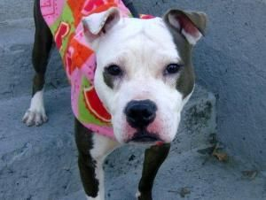 NOW ON SUPER URGENT LIST!! MICHELLE is an adoptable Pit Bull Terrier Dog in New York, NY. A volunteer writes: Michelle is a beautiful energetic little girl in a gorgeous gray and white coat. She looks like she may have been a m...
