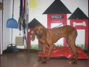 #OHIO #URGENT ~ Maggie is an #adoptable Redbone Coonhound Dog in #Kenton, #OHIO. Contact us for more information. HARDIN COUNTY DOG SHELTER 49 Jones Road #Kenton, OH 43326 Mon- Fri 8a-5p