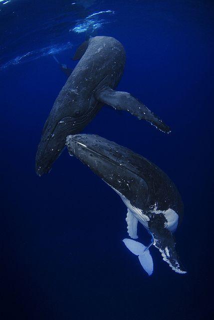 Humpbacks at Dawn
