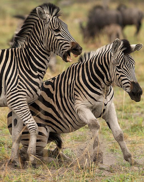 ~~Battle of Zebra by Wild Dogger~~