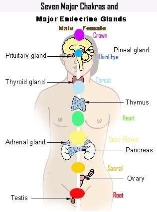 Chakra & organ health
