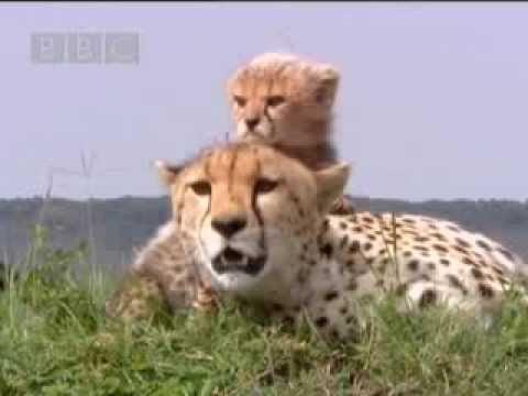 Cute Baby Cheetahs.