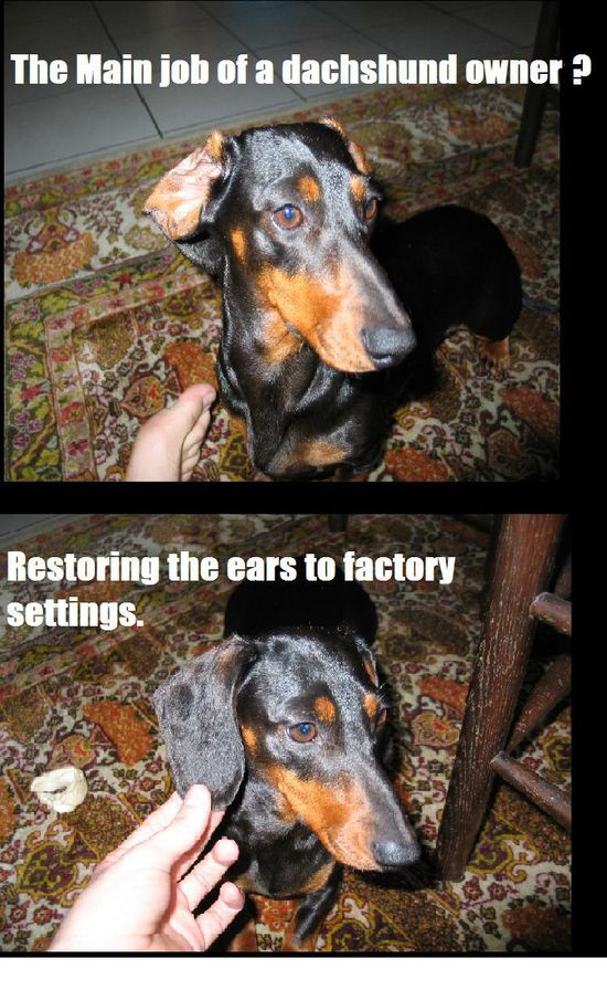 The Main Job of Dachshund Owners! My dog is part Dachshund but I never have to fix his ears; I guess that makes him Doxie 2.0