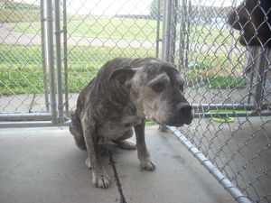 # 8 URGENT!!!!! ( SENIOR, BLIND, DEAF. VERY SWEET.) is an adoptable Pit Bull Terrier Dog in Carrollton, OH. Available for a limited time from the Carroll County Dog Pound, 2185 Kensington Rd. NE, Rout...