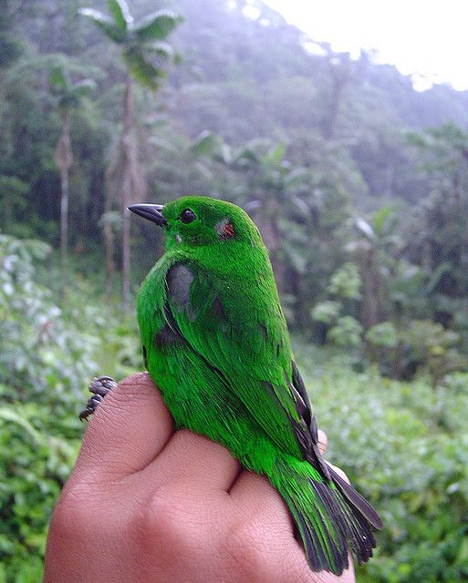 . Glistening-green Tanager