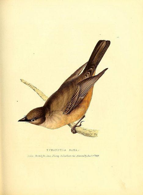 bird, tyrannula saya