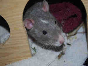 TUCKER is an adoptable Rat Rat in Brewster, MA.