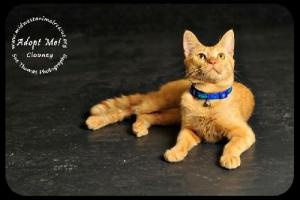 Clooney is an adoptable Tabby - Orange Cat in Minneapolis, MN.   ...