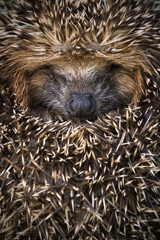 Sweet Hedgehog by Animal Kingdom