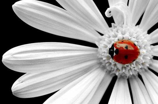 Ladybug on white daisy