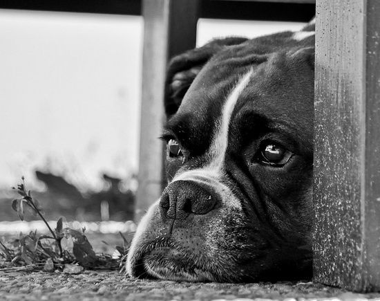 boxer#Baby Dogs