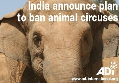 ADI has welcomed news that the Animal Welfare Board of India has announced plans for a ban on the use of animals in circuses, which they expect to be brought in within a year.   It is encouraging to see that the government has acknowledged both the public desire to end the use of all animals in circuses and the inherent cruelty of animal circuses.
